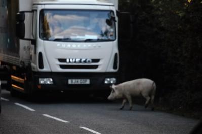Pig on road
