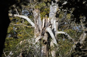 Shattered dead tree