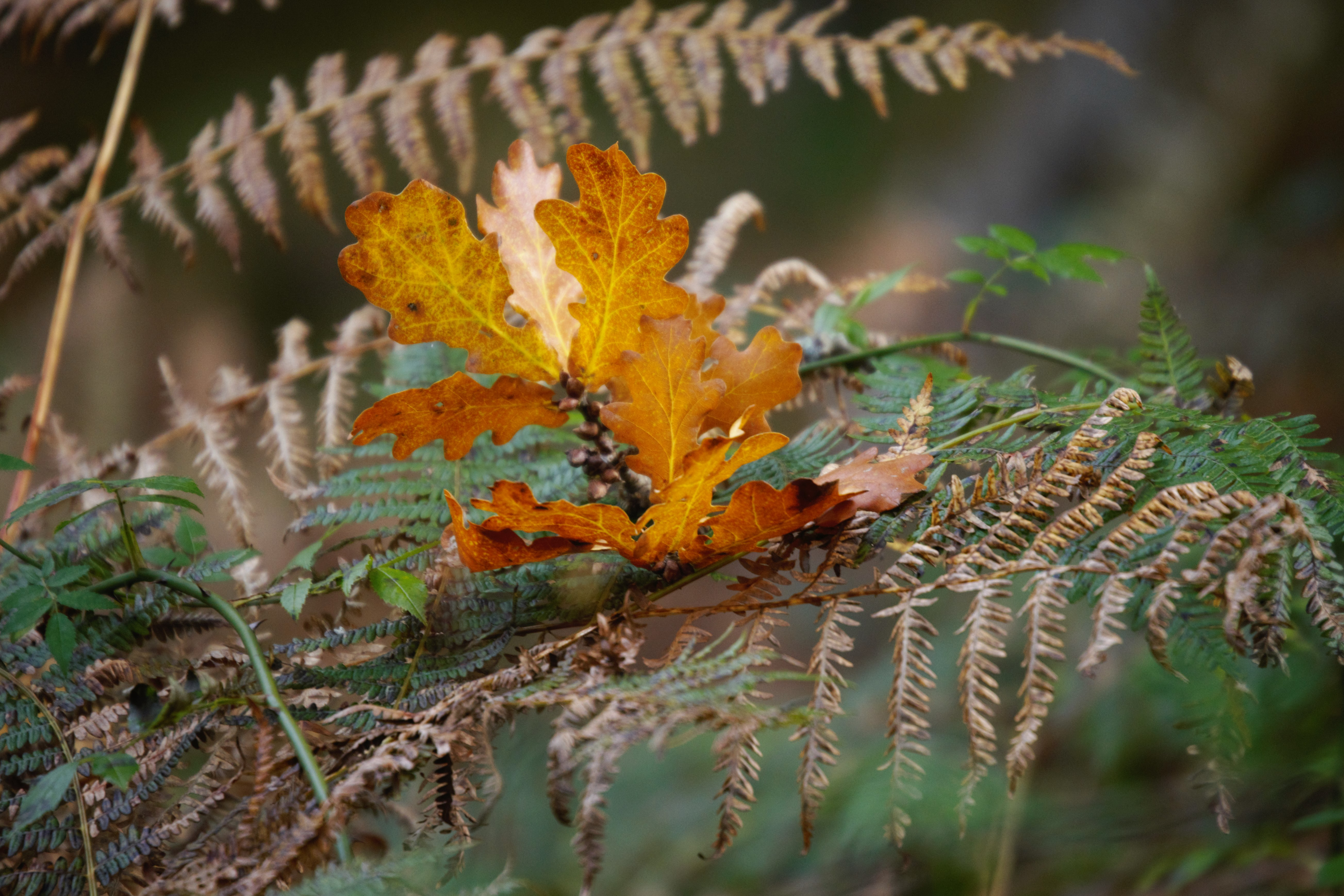 Oak leaf and ferns