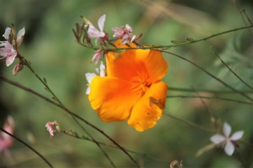 California Poppy and Gaura