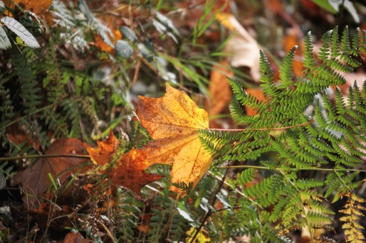 Sycamore leaves and ferns