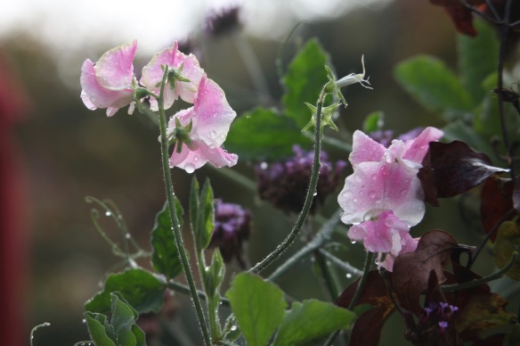 Raindrops on sweet peas
