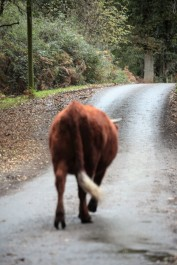 Cow on road