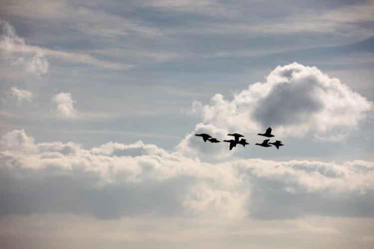 Brent geese in flight