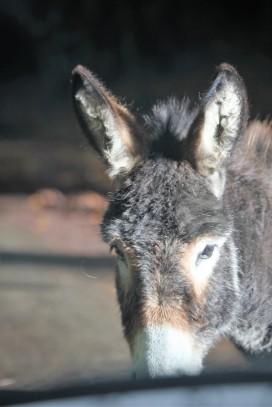 Donkey through windscreen