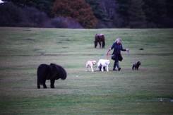 Ponies and dog walker