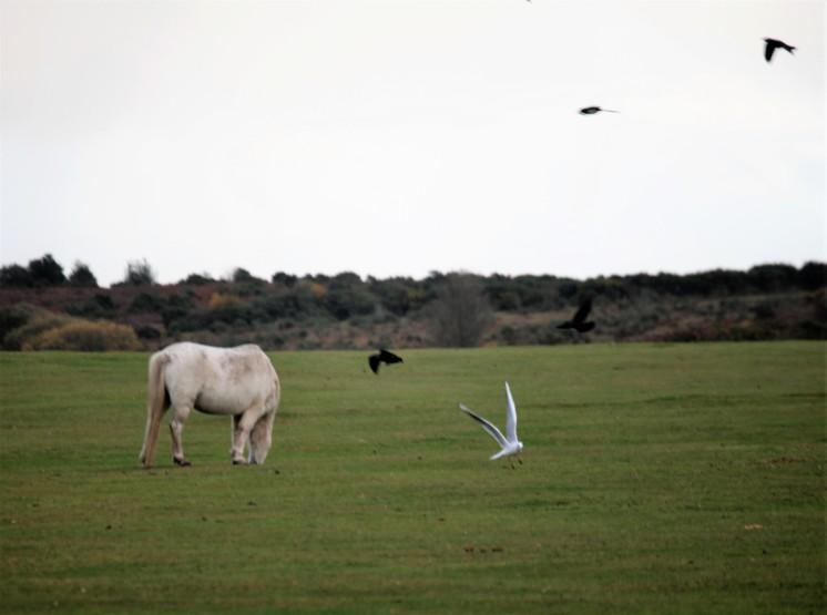 Pony, crows, gull