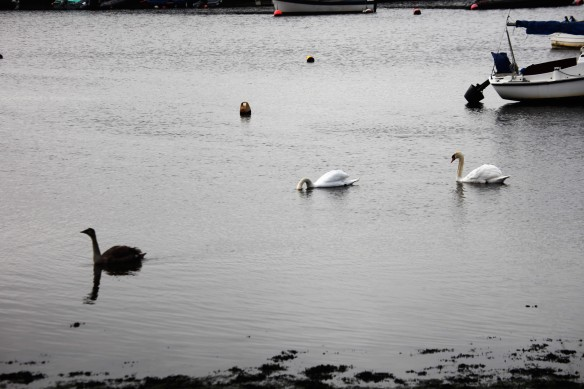 Swans and cygnet