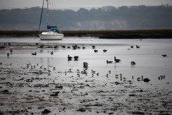 Brent geese ? and waders