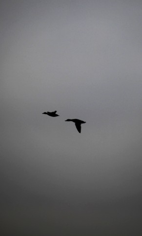 Brent geese ?
