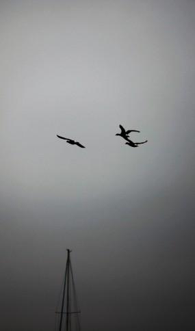 Brent geese ?