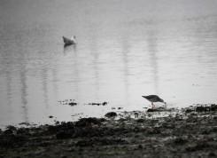 Redshank and gull