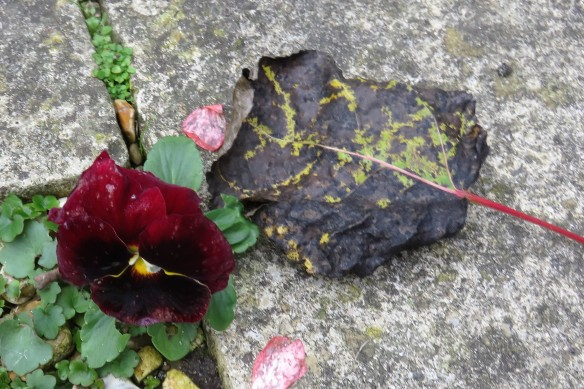 Pansy and autumn leaf