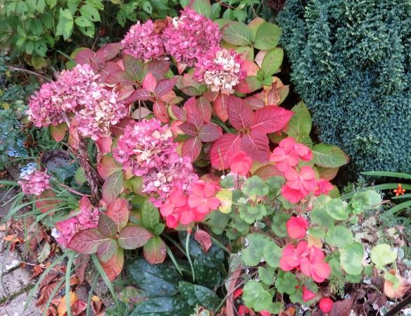 Hydrangea and geraniums