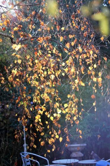 Weeping birch leaves