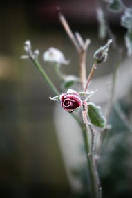 Frost on rose
