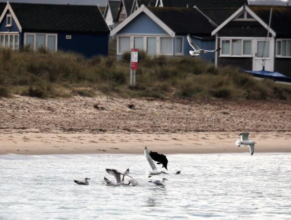 Gulls and beach huts