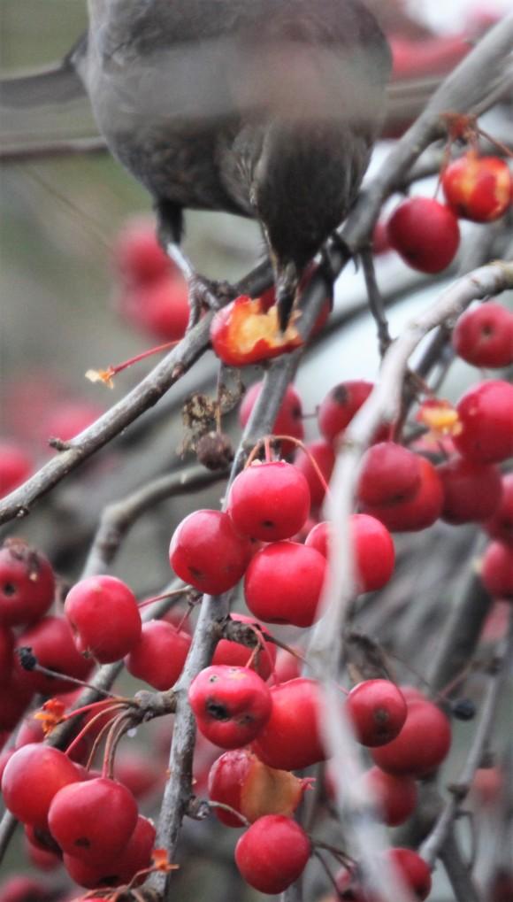 Blackbird and crab apples