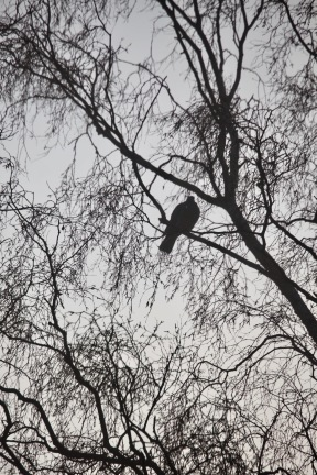Pigeon in misty tree 2