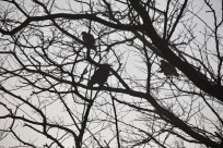 Pigeons in misty tree