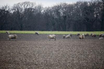 Sheep on stubble 2