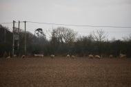 Sheep on stubble 4