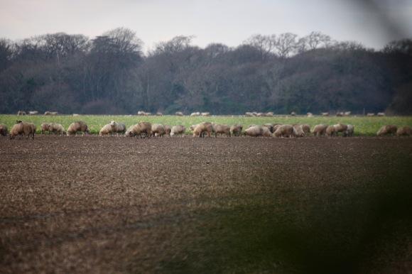 Sheep on stubble 5