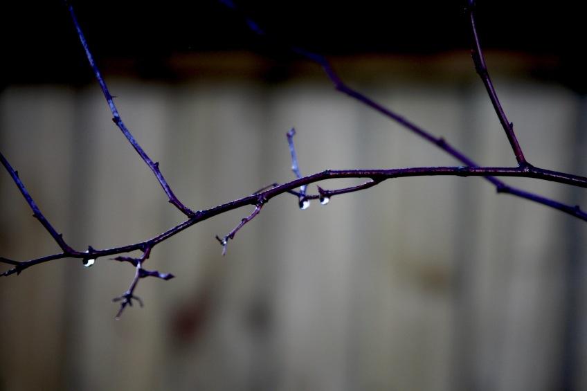 Raindrops on twig