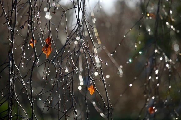 Raindrops on weeping birch 3