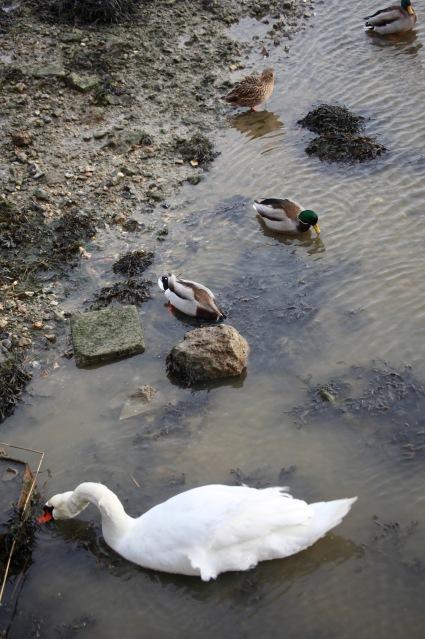 Swan and mallards 1