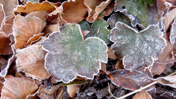 Frost on heuchera leaves