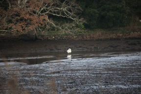 Swan on silt
