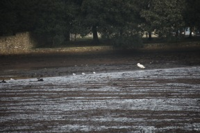 Swan and gulls on silt