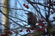 Thrush and crab apples 5
