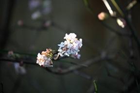 Viburnum Bodnantensis Dawn 2