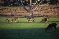 Red deer 2