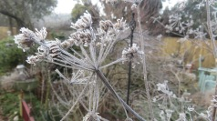 Frost on Cow parsley 2