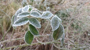 Frosted leaves 3