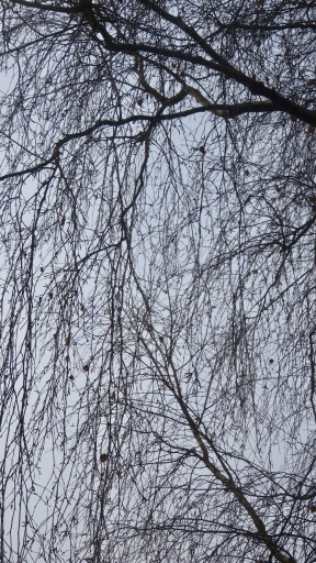 Weeping birch branches