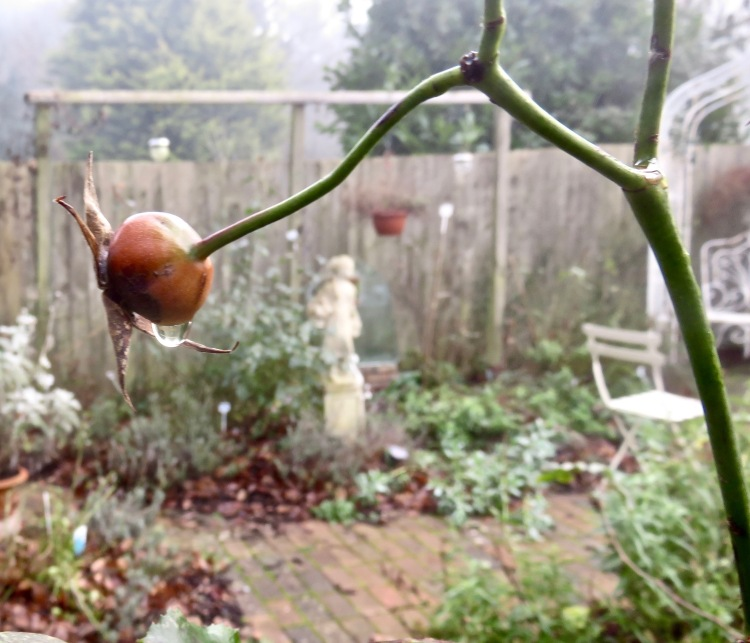 Raindrop on rose hip