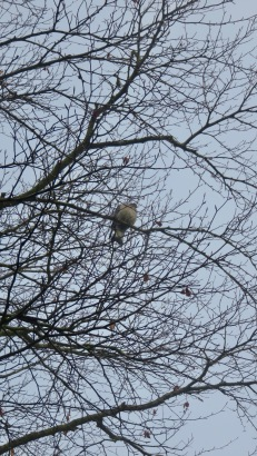 Pigeon in beech tree