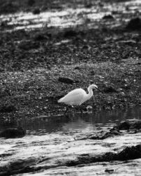 Egret 8