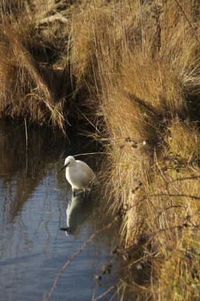 Egret and reflection 2