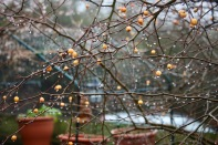 Raindrops on crab apples 1