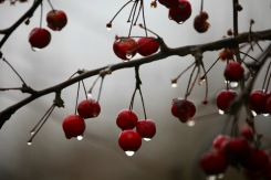 Raindrops on crab apples 2