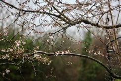 Raindrops on flowering cherry