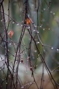 Raindrops on weeping birch