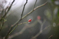 Raindrop on rose hip