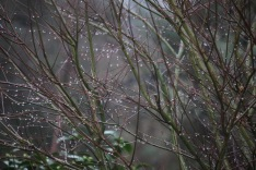 Raindrops on Japanese maple twigs