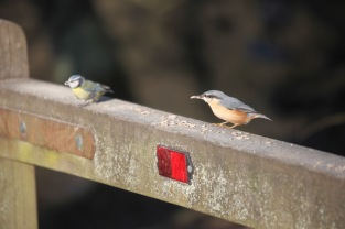 Nuthatch and blue tit